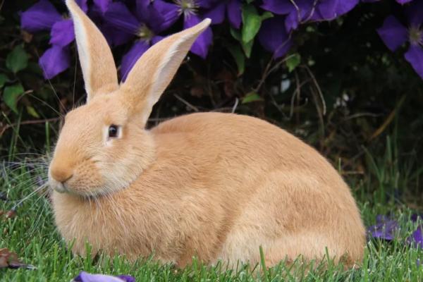 Здоровый кролик отличается красивой, гладкой и приятной на ощупь шерстью