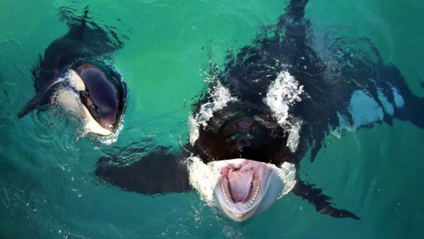 Касатки относятся к категории опасных морских хищников