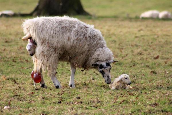 Так выглядят роды у овец