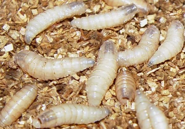 Личинки мух – протеин в чистом виде