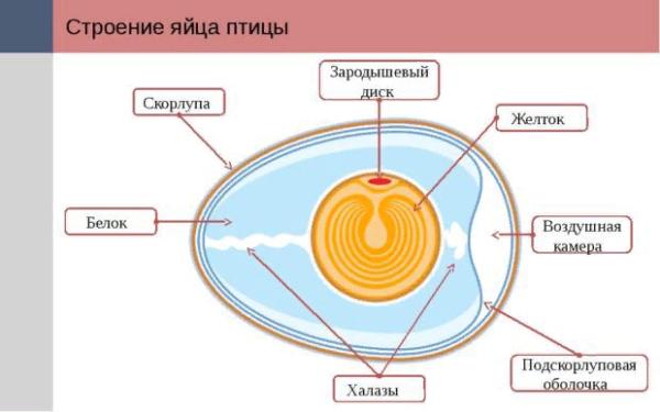 Особенности внутреннего строения куриного яйца