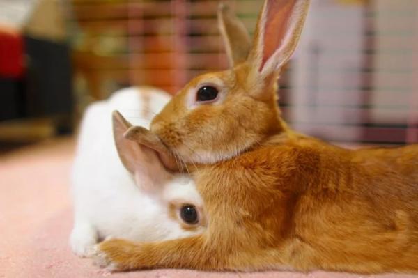 С какого возраста кролики начинают размножаться