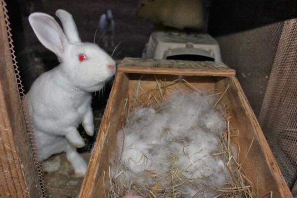 Беременная самка выщипывает свой пух и укладывает его в гнездо
