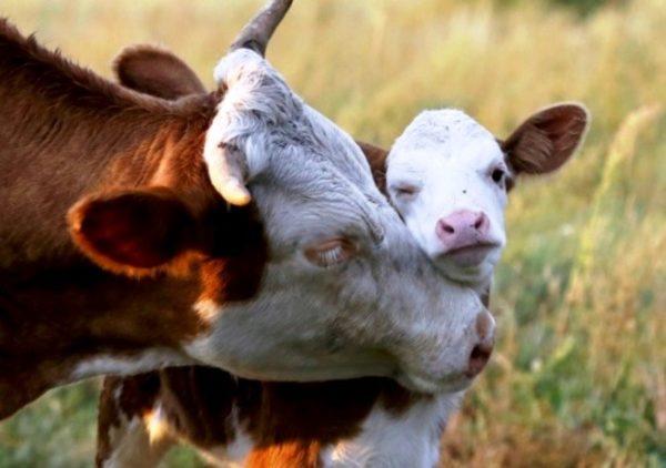 Особое внимание уделяют питанию беременных и отельных коров