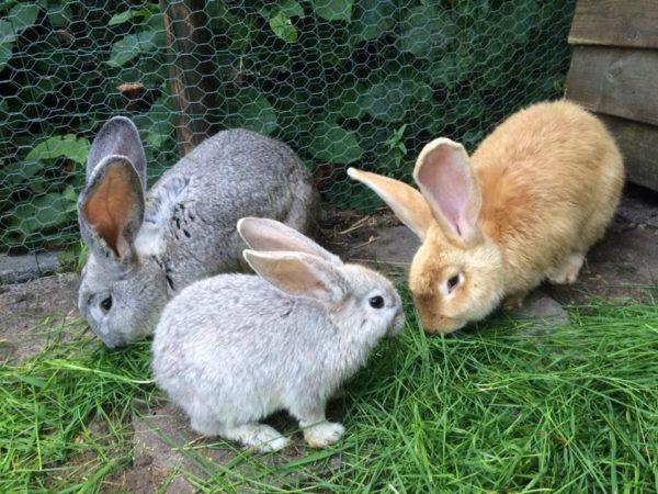 Уже с 3-4 месяцев крольчат нужно рассаживать в соответствии с полом, чтобы исключить нежелательные случки