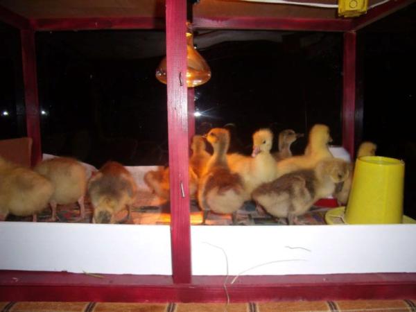 Для птенцов потребуется установить искусственные лампы