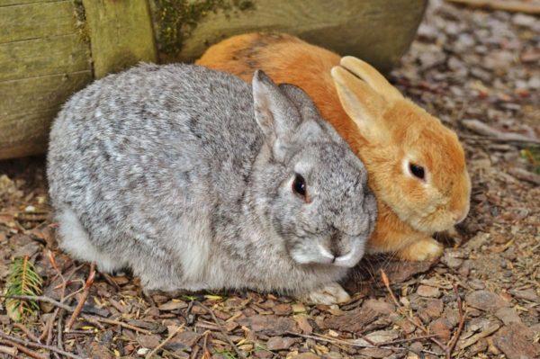 Крольчиху можно спаривать сразу после родов