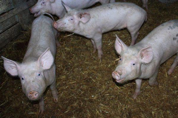 Патология поражает в основном поросят, находящихся в грязных свинарниках