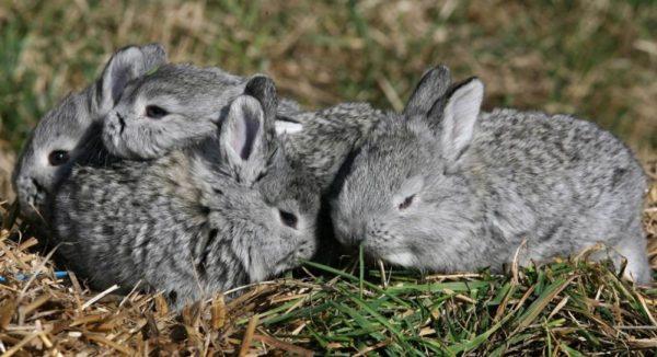 Прежде, чем заводить первых кроликов, нужно основательно подойти к выбору породы