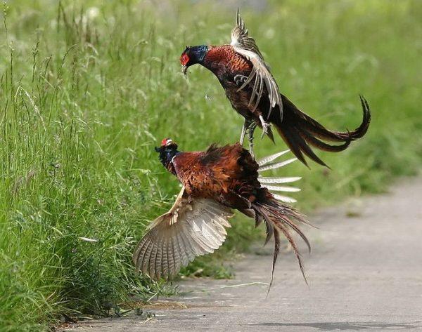 На фазаньей ферме драки – обычное явление