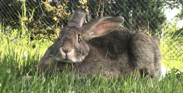 Кролик-производитель
