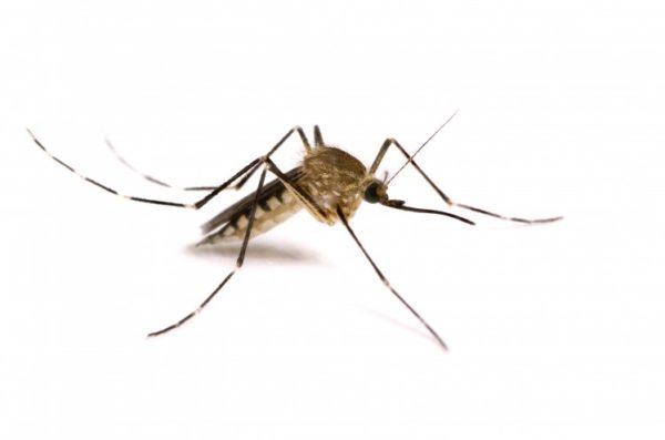 Заражение может произойти даже через комариный укус