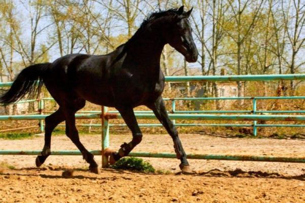 Конь русской верховой на пробежке