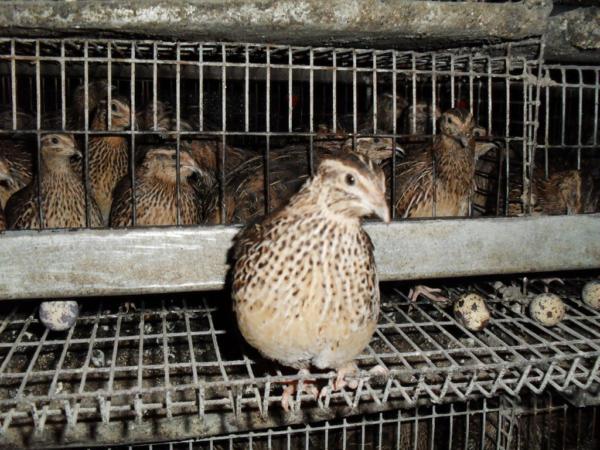 Лучше приобретать молодняк на специализированных птицефабриках