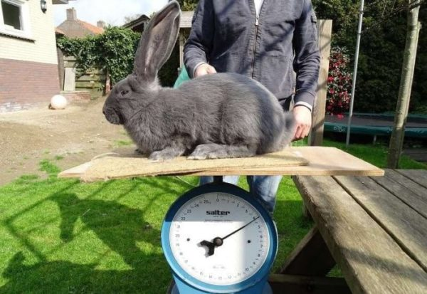 Перед спариванием и кролика, и крольчиху рекомендуется взвешивать – разница массы не должна быть существенной