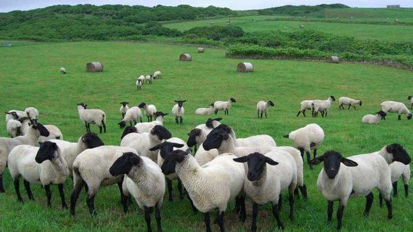 Продукция овцеводства пользуется большим спросом у покупателей