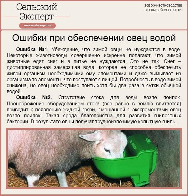 Ошибки при обеспечении овец водой