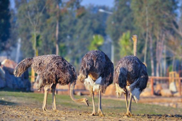 Из-за габаритов таких птиц многие фермеры относят к категории домашнего скота
