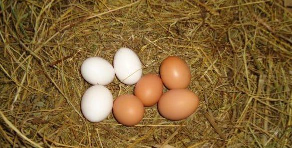 Чтобы построить хорошие гнезда для кур, необходимо соблюдать некоторые требования