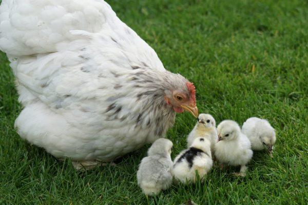 Существует несколько типов гнезд для кур несушек