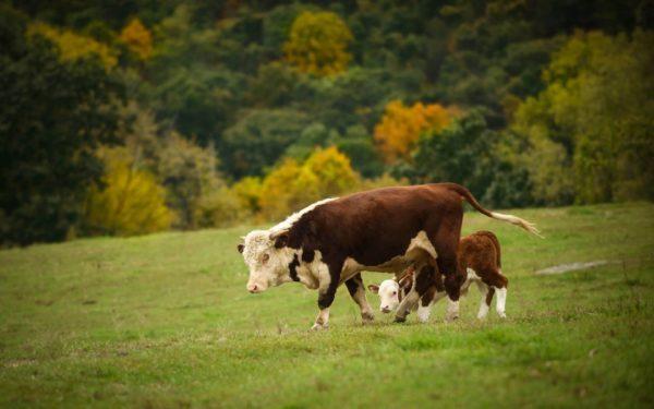 При лейкозе корова постепенно теряет способность к вынашиванию телят