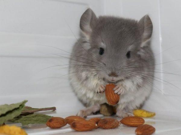 Кормление орехами быстро приводит к ожирению, поэтому их дают в минимальных объемах