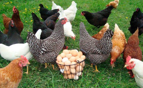 Сколько стоит курица-несушка?