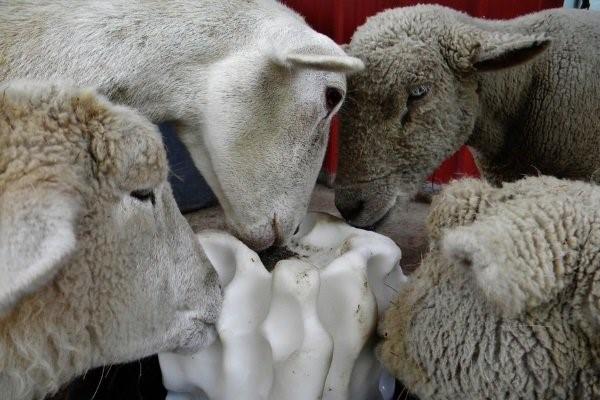 Овца лижет соль