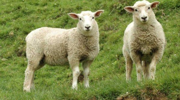 Сведение овец