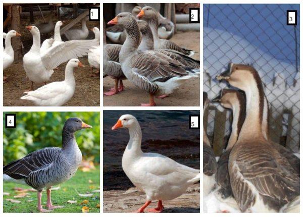 Мясные породы гусей: 1 — губернаторская, 2 — крупная серая, 3 — кубанская, 4 — шадринская, 5 — итальянская белая