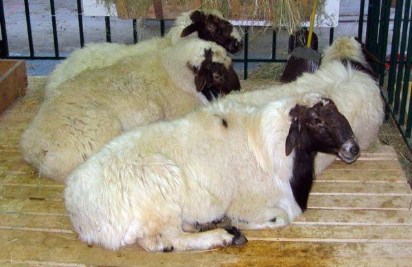 Поголовье калмыцких овец