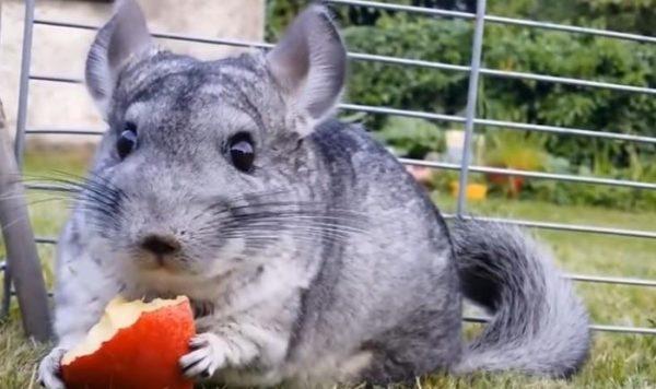 Экзотические грызуны очень любят сочные свежие фрукты