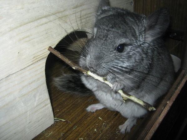 Довольный грызун поедает веточку