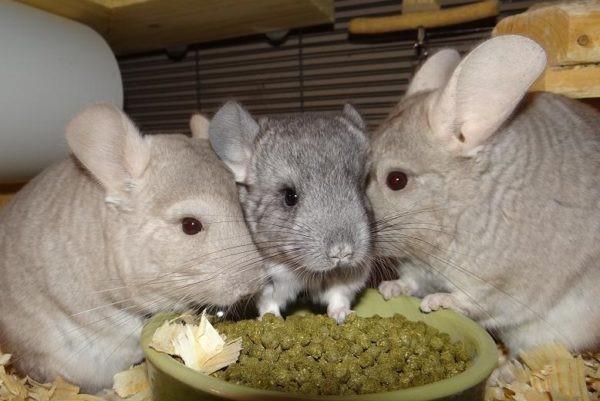 Экзотические грызуны с аппетитом едят полезные гранулы