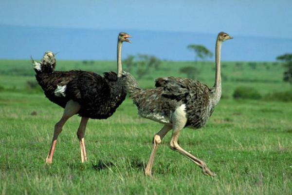 Самка и самец Африканского страуса