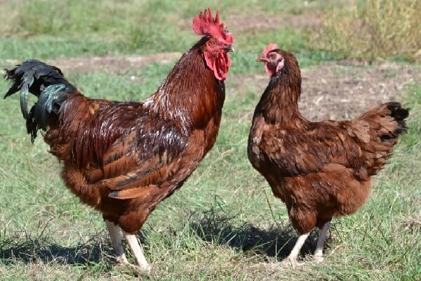 Петух и курица породы Род-Айленд