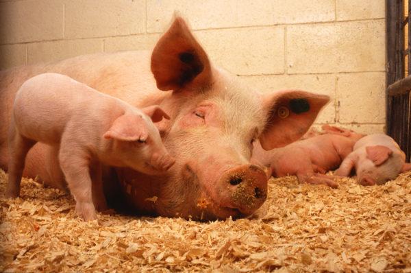 При диагностировании учитывают возраст больных животных