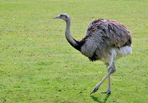 Южный страус