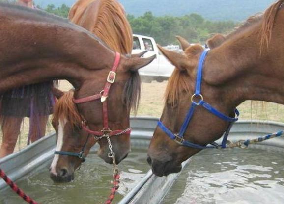 В помещении, где содержится лошадь, необходимо установить поилку со свежей водой