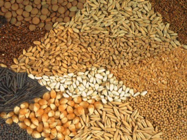 Ввиду того, что мясным кроссам сложно набрать вес на зерносмесях, разведение Белых широкогрудых более прибыльно