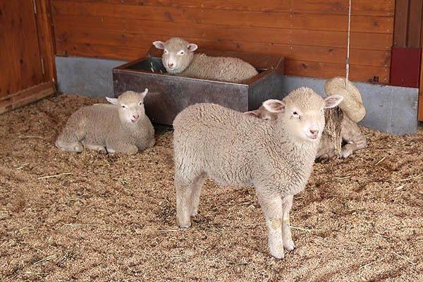 В возрасте одного месяца животным уже дают комбикорм