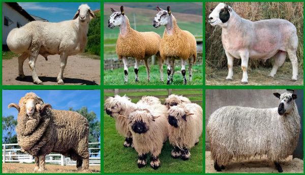 Мясная продуктивность обусловлена выбором породы
