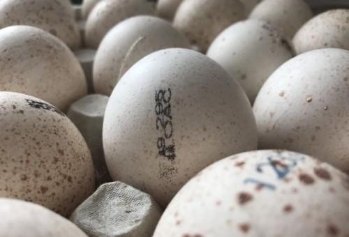 Внешний вид инкубационных яиц индюков Биг-6