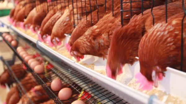 Несушки могут давать яйца и в зимнее время