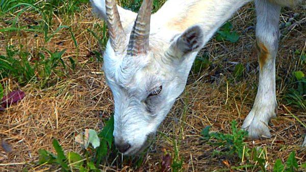 Коза относится к категории жвачных животных