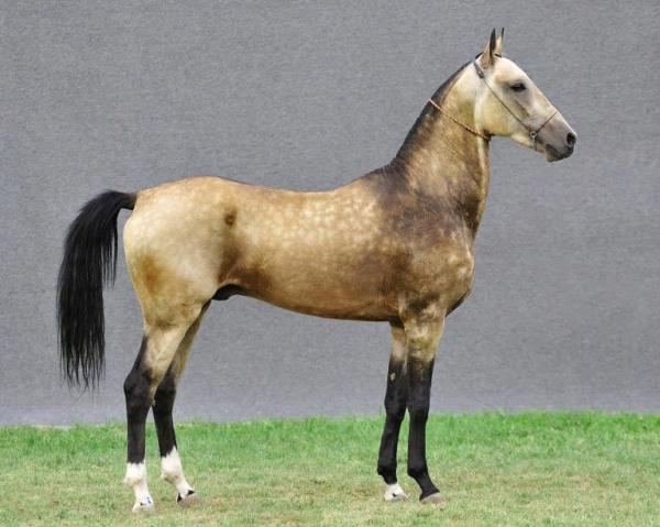 Ахалтекинским коням, как и другим животным, требуется правильное питание