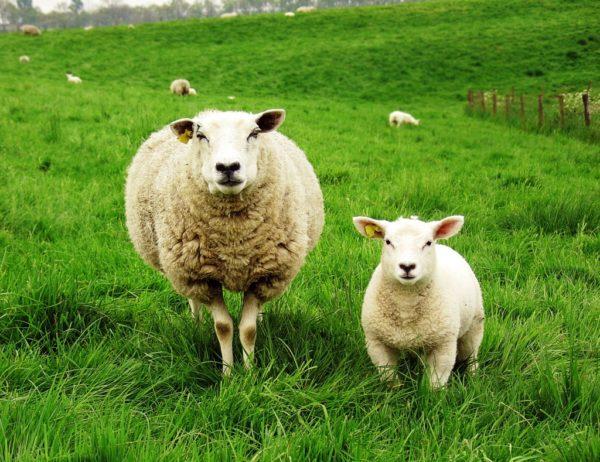 Представители мясных пород относятся к скороспелым и быстро набирают вес
