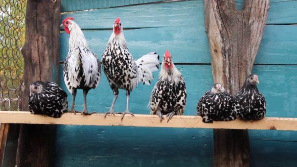 Ученые насчитывают около 700 куриных пород, среди которых много карликовых