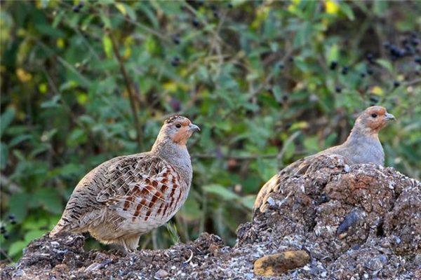 При грамотно составленном рационе в зависимости от вида птица набирает от 400 до 900 г
