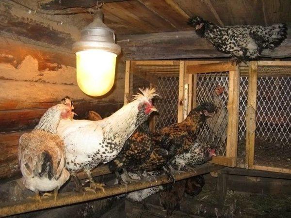 Зимой курам нужно дополнительное освещение